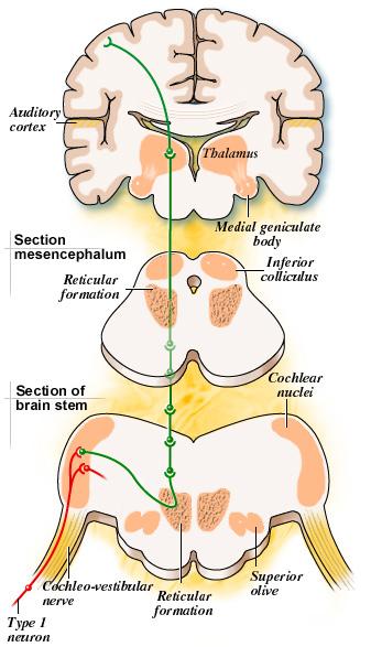 Reticular Formation Diagram Lektonfo