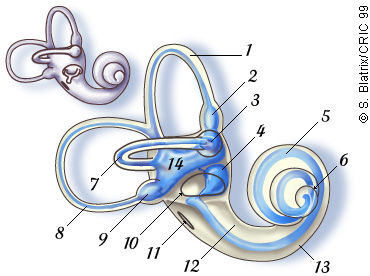 Audition promenade round cochlea autour cochle oreille ear for Fenetre ovale oreille